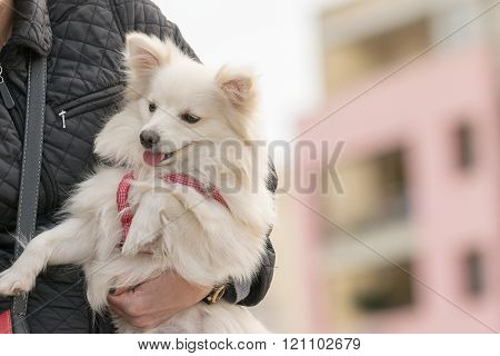 Woman holding a Spitz dog in her arms.
