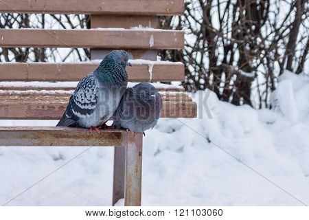 Two Pigeons Sit On A Wooden Bench In Winter Park