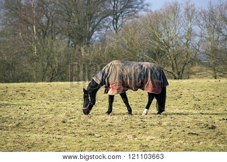 Horse With Horsecloth