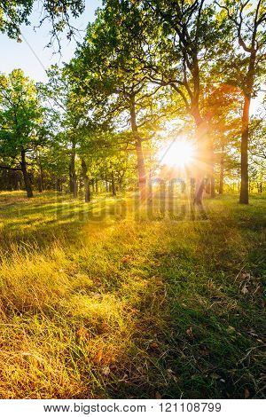 Sunset In Forest Trees. Natural sunlight sunshine in forest