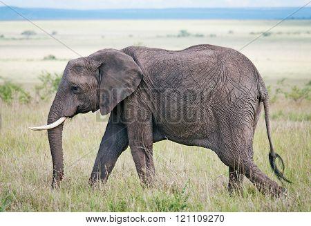 Elephant In Masai Mara National Park, Kenya