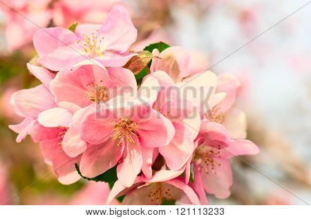 Apple Flowers, Spring Blossom