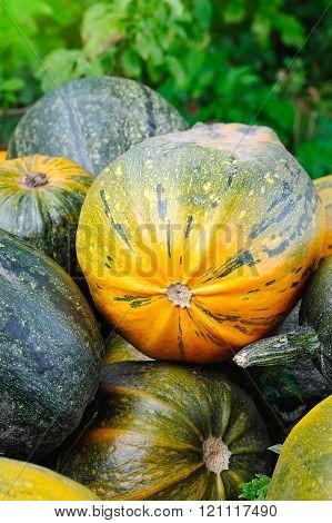 Harvested Pumpkins On A Field