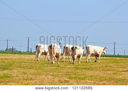 Herd of oxen, in back view. In pasture