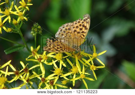 Butterfly with yellow flower