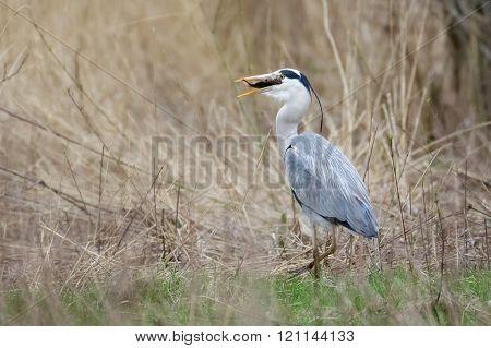 Grey Heron (ardea Cinerea) With Fish