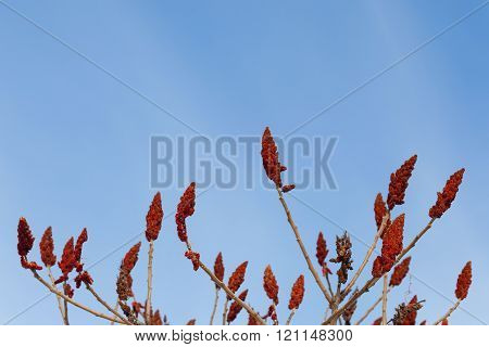 Red Staghorn Sumac