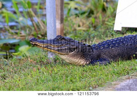 aligator in Everglades