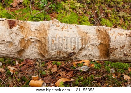 Tree gnawed by beaver