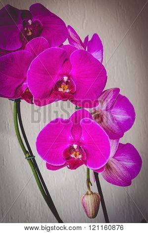 Pink Phalaenopsis With Bud Toned