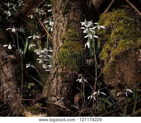 Common snowdrops (Galanthus nivalis) growing through moss covered logs