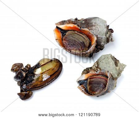 Two Veined Rapa Whelk And Anodonta (river Mussel)