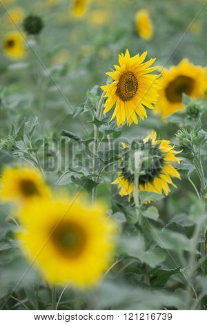 Sunflowers , selective focus