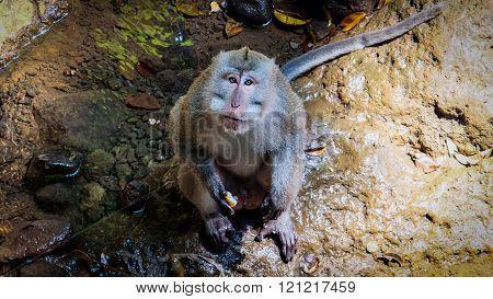 Monkey looking into observers eye