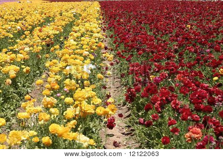 Red and yellow flower field