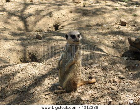 an african meerkat standing lookout in a desert environment. poster