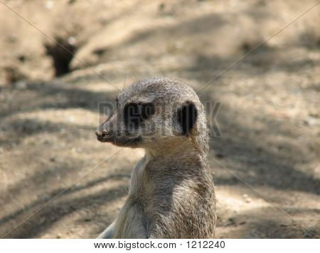 a close-up of an african meerkat standing lookout in a desert environment. poster