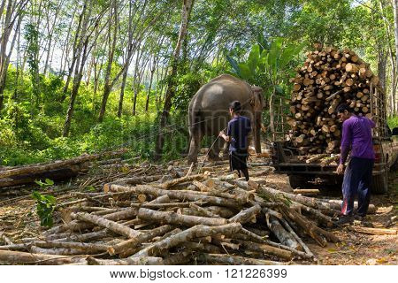 TRANG, THAILAND, JANUARY 12, 2016 : Elephant pulling a tree with chains, helping the workers to harvesting the rubber tree forest in Trang, Thailand