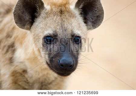 Young Spotted Hyena close up Head Shot, Kruger National Park, South Africa