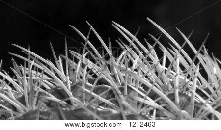 Dangerous Tangle Of Thorns - B&W