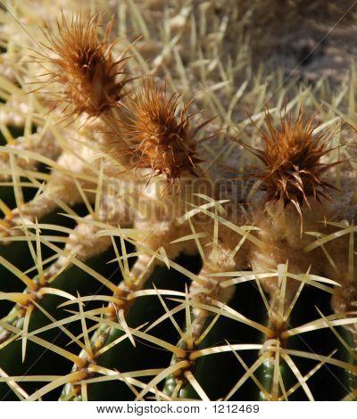 Golden Barrel Cactus Flowers 2