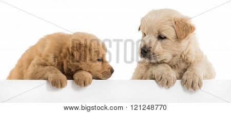 Fluffy Chow-chow puppies isolated over white background