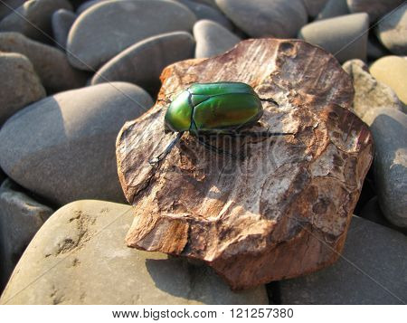 Metallic green European beetle cetonia aurata on pebbles.