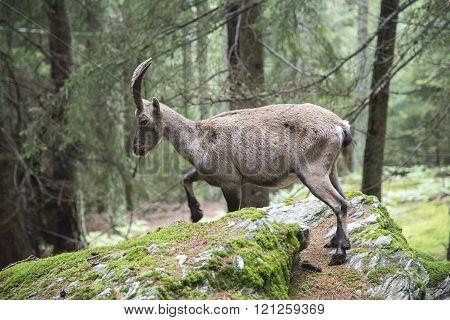 Female Alpine Ibex Walking In A Wood