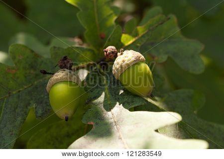 Acorns at summer
