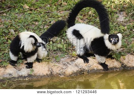 Two Black and white ruffed lemur near the ponds