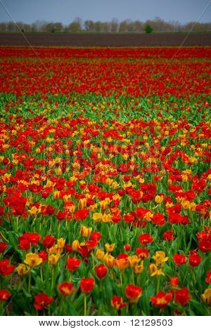 Spring landscape of tulips field