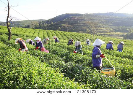 A group of farmers picking tea on a summer afternoon in Cau Dat t