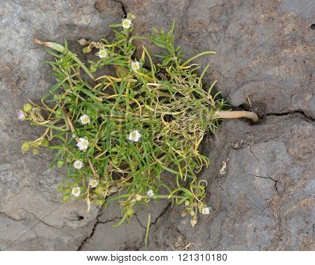 Greater sea-spurrey (Spergularia media) plant from above