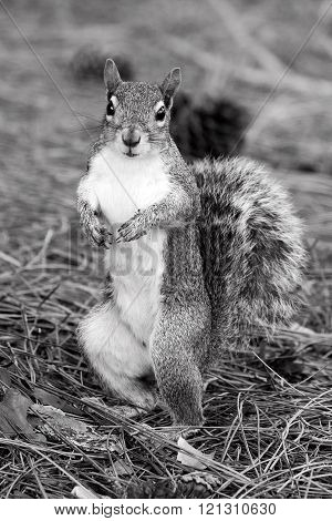 Alert Eastern Gray Squirrel standing upright on two back paws and staring. Black and white photo