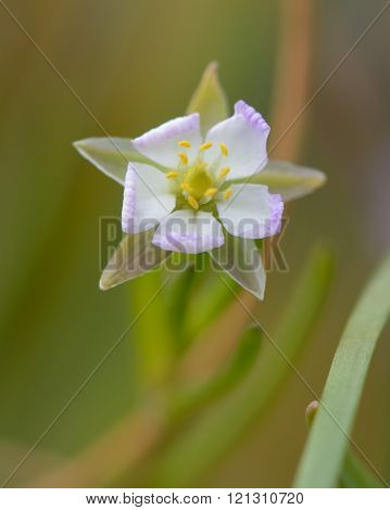 Greater sea-spurrey (Spergularia media) close up of flower