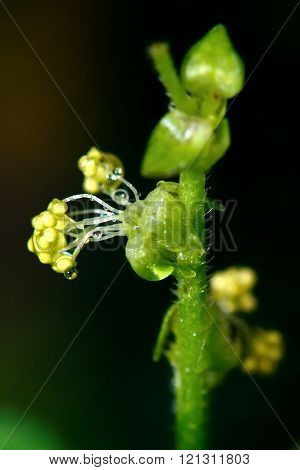 Annual mercury (Mercurialis annua) close up of flower