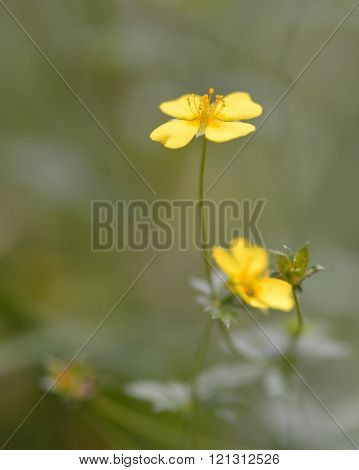 Golden yellow flowers on plant in the rose (Rosaceae) family, seen with selective focus on stamens poster