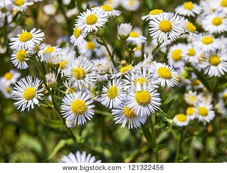 Beautiful Wild Daisy