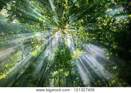 sun rays through the trees in the forest in sunny day