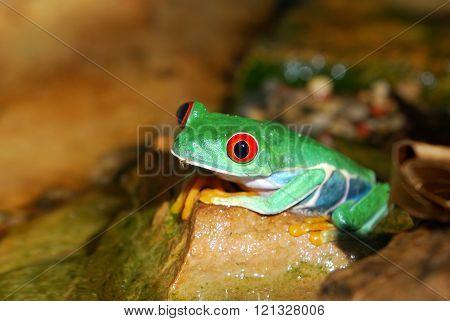 Red-eye tree frog Agalychnis callidryas in terrarium with natural environment look