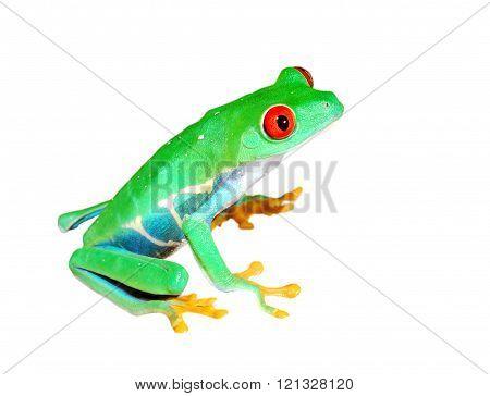 Red-eye tree frog Agalychnis callidryas isolated over white background