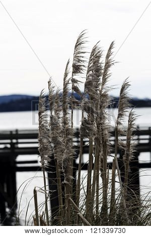 Pampas Grass With Dock And Bay In Background