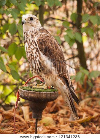 Portrait of saker falcon