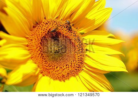 Honey Bee Pollinating Sunflower in Field of Sunflowers