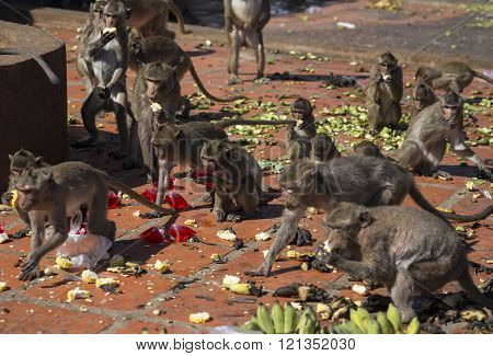 Crab-eating Macaques food fest, Thailand