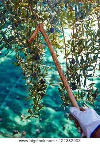 Olives harvest and picking sticks at Mediterranean Spain