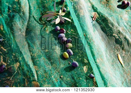 Olives texture in harvest with net at Mediterranean