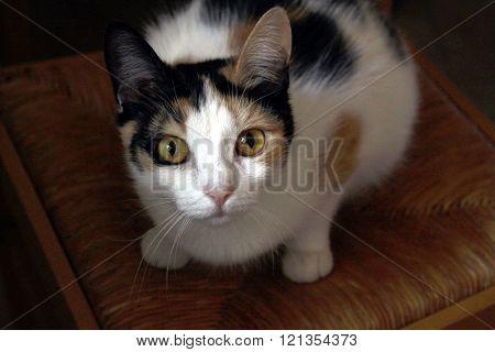 Dramatic Calico Cat