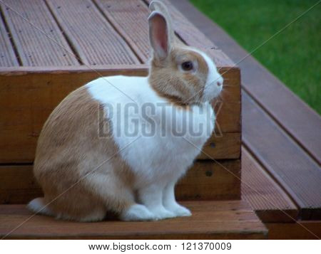 Dutch Rabbit, light brown and white sitting upright ears erect