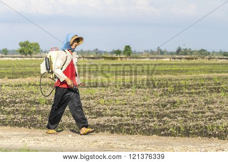 TANJUNG KARANG MALAYSIA - 31 JANUARY 2016 : Unidentified farmer spraying insecticide with traditional way on a paddy field in Tanjung Karang Malaysia. Selective focus and shallow DOF